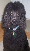 Standard poodle,Charley,Black Charles and Mrs. Gray